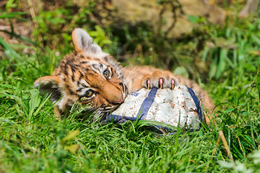 tiger with ball photo
