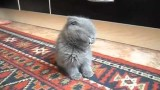 Fluffy Grey Kitten Can Hardly Heep Its Eyes Open